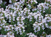 Thymus vulgaris / wikimedia commons